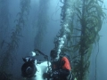 Tasmania's giant Kelp forest is now almost completely gone.