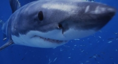 A Great White Shark in close-up where the Ampullae of Lorenzini are easily visible