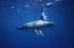 Great White Sharks live in most oceans of the world.