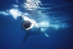 The Jaws film made this shark the most feared in the world.