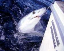 A Mako shark grabs a bait by our boat.