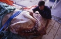 Andrew Fox inspects the jaws of this dead Great White Shark.