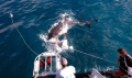 Filming Great White Sharks